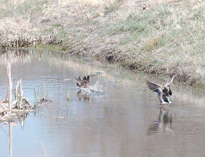 Photo by Brian CorelyIdentifying ducks such as these seen Friday in the Linear Ditch near Governor's Field may get easier. City and Brewery Arts Center officals are working to add descrptive signs of the region and its wildlife along Linear Park to create an intpretive trail.