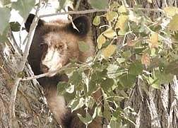 One of two bear cubs stares out from his perch in a tree over Winnie Lane Friday moring. The two cubs were accompanied by mom after taking to a nearby garbage and apple tree.