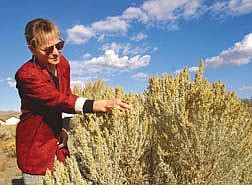 JoAnne Skelly, educator with the University of Nevada Cooperative Extension office, shows the flowers of a sagebrush that release pollen this time of year.  Allergy sufferers in Carson City are affected most in the fall.