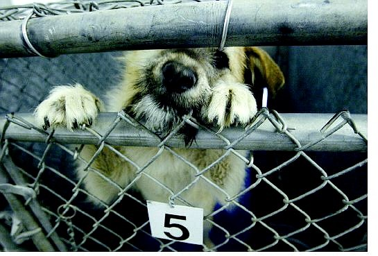 An 8- to 9-month-old female terrier mix waits for a family at the Lyon County Animal Shelter in Silver Springs Wednesday.