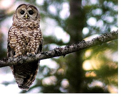 The Associated Press A California spotted owl sits on a perch in the Tahoe National Forest.
