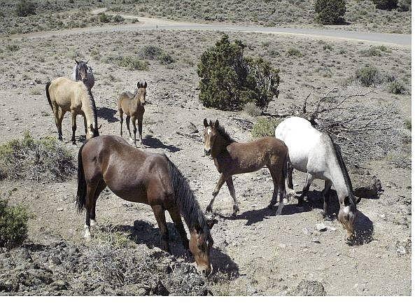 Cathleen Allison/Nevada Appeal A herd of wild horses graze outside of  Virginia City on July 6.