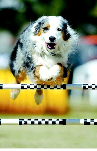 BRAD HORN/NEVADA APPEAL Toby Brown's Australian shepherd, Jake, age 7, clears a jump at the Pepper Memorial Classic dog-agility trials at Fuji Park Sunday morning. Brown travels from Jacksonville, Ore., every year for this event that raises money for research into canine cancer.