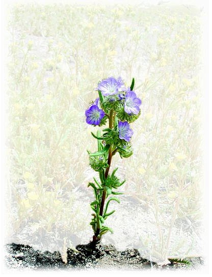 Photo provided Narrow-leafed phacelia, Phacelia linearis, are less than an inch in size and are lovely to view above Comb's Canyon Road.