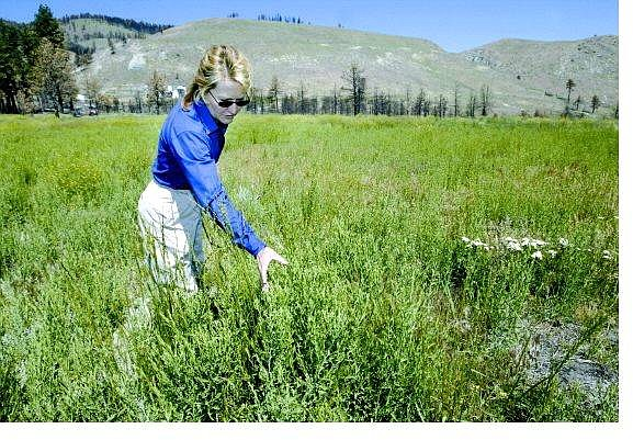 Cathleen Allison/Nevada Appeal University of Nevada, Reno Cooperative Extension educator JoAnne Skelly looks through the weeds in a Kings Canyon meadow destroyed by the Waterfall fire last year.