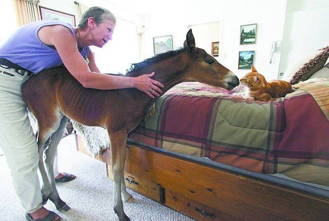 Brad Horn/Nevada Appeal Allen watches her 1-month-old wild horse, Trooper, get friendly with her cat in her bedroom on Wednesday.