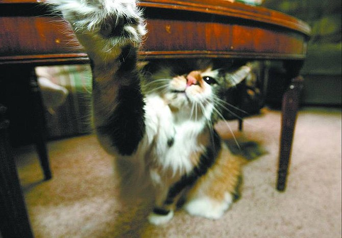 Cathleen Allison/Nevada Appeal Julie, a 4-year-old spayed female calico, reaches for the camera lens recently at her Dayton home. Julie has a fear/aggression problem and her owner is working with Animal Behaviorist Adrienne Navarro to help resolve it.