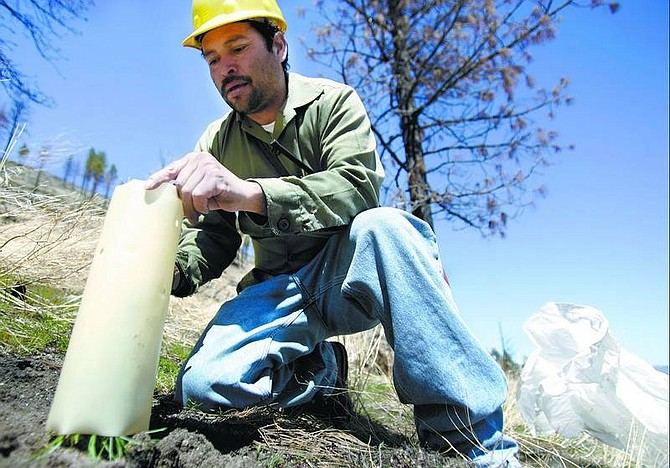Chad Lundquist/Nevada Appeal Antelmo Contreras, 40, a planter with MQ Reforestation of Horseshoe Bend, Idaho, covers one of the 130,000 pine seedlings planted in areas damaged by the Waterfall fire two years ago. The crew started work Monday in the Lakeview Estates area north of Carson City.
