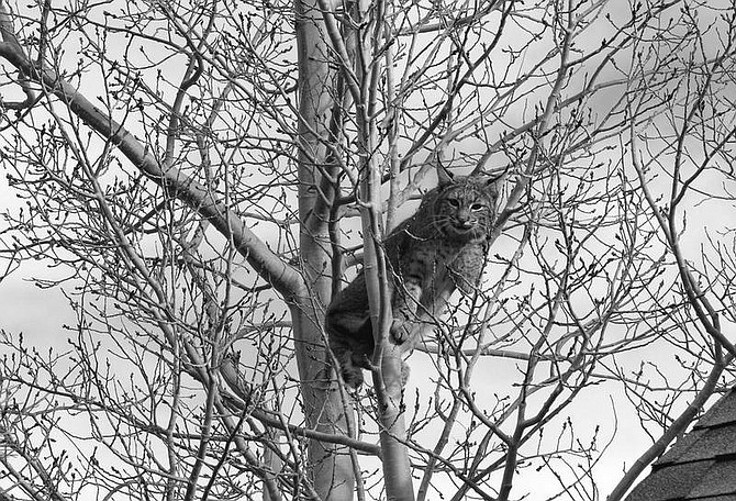 Juan Guzman took this photo Friday of a bobcat lounging in a tree in his back yard. He lives in Douglas County south of Kingsbury Grade , near Foothill Road. Photo submitted by Juan Guzman