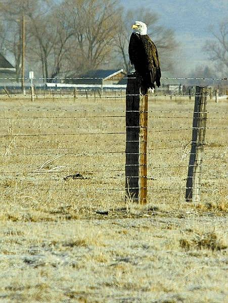 Shannon Litz/Nevada Appeal News Service A bald eagle perches on a fence post at the Heise Ranch on Highway 88 in Douglas County on Feb. 2.