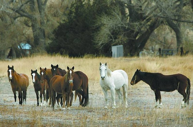 A herd of wild horses graze at Santa Maria Ranch development east of Dayton in December, before being rounded up by the state Department of Agriculture. Wild-horse advocates plan to mount an aggressive campaign to inform the public about fence-out laws and pressure county officials to enforce them.   Cathleen Allison/ Nevada Appeal File Photo