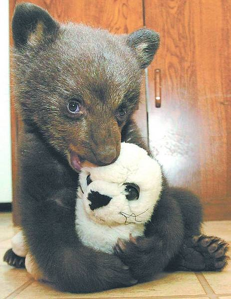 Dan Thrift/Nevada Appeal News Service A 12-week-old black bear cub plays with a stuffed animal after arriving April 15 at Lake Tahoe Wildlife Care on the south shore. The cub was found orphaned near Bakersfield, Calif., and appears to be in good condition.