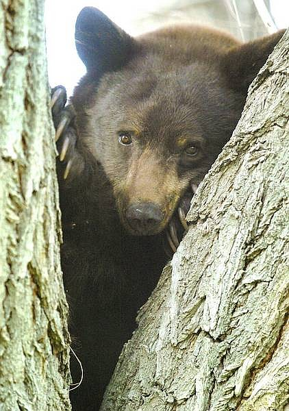 A bear sits in a tree on 10th Street in Minden on Monday afternoon.