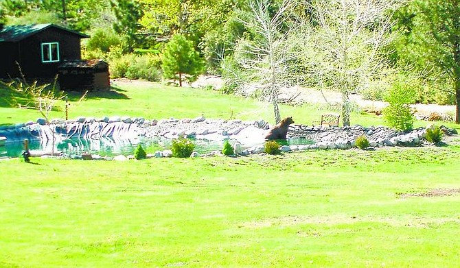 SubmittedSheri Stock of Lakeview took this photo of a bear cooling off in one of Bob Lamerdin's ponds.