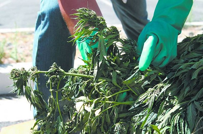 Cathleen Allison/Nevada Appeal Nevada law enforcement officials displayed more than 3,000 marijuana plants seized in Esmeralda County earlier this week. Investigators estimate the street value to be between $800,000 and $1 million. No arrests have been made.