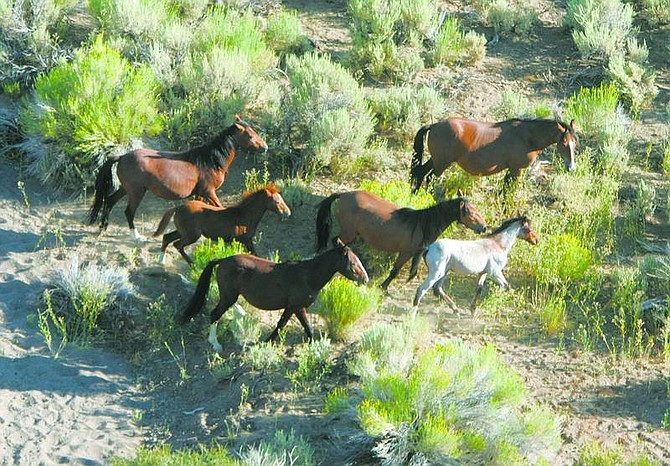 BRAD HORN/Nevada Appeal Wild horses run on the Virginia Range during a horse count conducted by the Virginia Range Wildlife Protection Association on Monday.