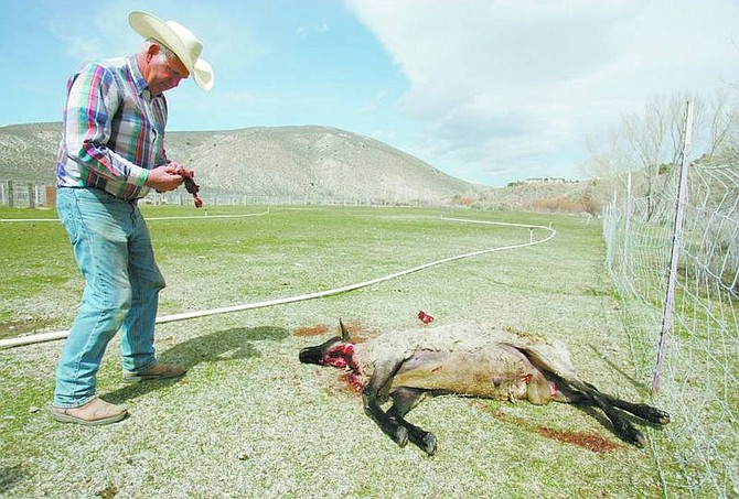 BRAD HORN/Nevada Appeal Jack Foerschler inspects his dead ram on Friday. The animal was shot near his home and dragged to the edge of his ranch.