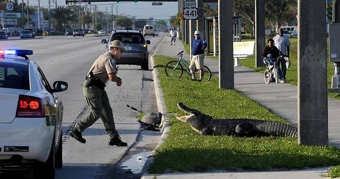 """AP Photo/South Florida Sun-Sentinel, Lou TomanA Florida State Wildlife Officer tries to lasso a 9.5-foot alligator which was found along a highway in North Lauderdale, Fla., during morning rush hour, Tuesday, April 1, 2008. A trapper captured the animal later, and it will be """"harvested,"""" according to the Fish and Wildlife Commission."""