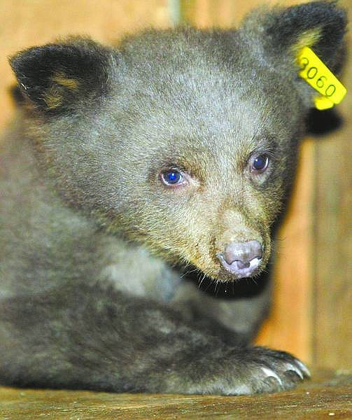 Dan Thrift / Tahoe Daily Tribune The newest client at Lake Tahoe Wildlife Care is a 4-month-old bear cub that was found in the Crane Flats area of Yosemite after its mother was hit by a car.