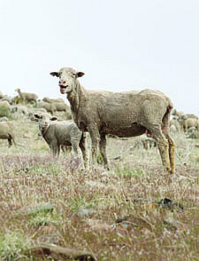 Jim Grant/Nevada AppealA sixth season of sheep grazing on the hills above Carson City has begun and will last two months. About 800 ewes and lambs from the Borda Land and Sheep Company. They are used each year to reduce the growth of cheat grass, which is highly flammable.