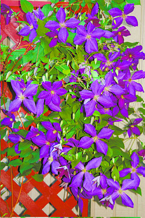 All vines, including this jackman clematis, need trellises. Illustrates GREENSCENE (category l), by Joel M. Lerner, special to The Washington Post. Moved Friday, Aug. 29, 2008. (MUST CREDIT: Photo for The Washington Post by Sandra Leavitt Lerner.)