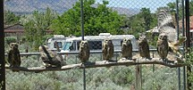 """Courtesy Neil BishopGreat-horned owl """"birds of the year,"""" which means they hatched in the spring, line up on a perch in an enclosed outdoor pen at the Wild Animal Infirmary of Nevada in Washoe Valley recently. WAIF will open its gates to the public July 30-31 for its annual open house."""