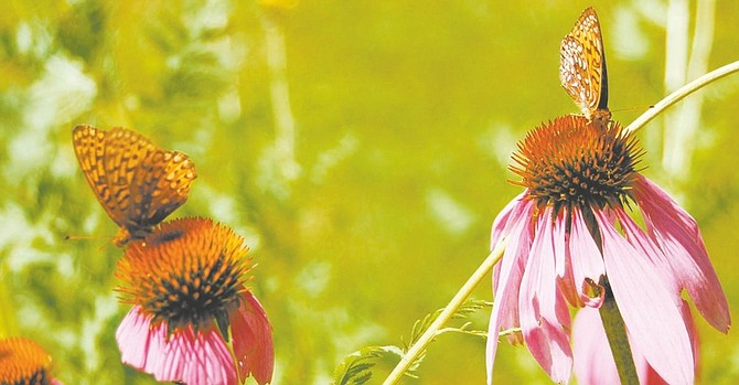Many butterfly species have begun to falter and disappear worldwide. Purple coneflowers are good nectar plants. Illustrates GREENSCENE (category l), by Joel M. Lerner, special to The Washington Post. Moved Monday, Aug. 18, 2008. (MUST CREDIT: Photo for The Washington Post by Sandra Leavitt Lerner.)