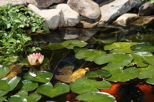 Carol Pion's pond in Carson features blooming water lilies as shown here on Saturday.