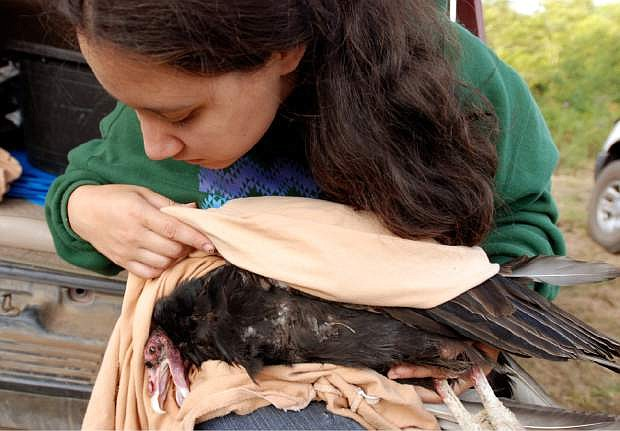 FILE - In this Aug. 7, 2009, file photo, Yurok Tribe wildlife biotechnician Tiana Williams holds a turkey vulture in the hills above Orick, Calif., where it was trapped as part of the tribe's efforts to determine if the Klamath River canyon would be suitable habitat for condors. The Yurok Tribe has signed agreements leading to the first release of captive-bred condors into the northern half of their historic range _ the sparsely populated Redwood Coast of Northern California. The tribe, based at the mouth of the Klamath River, has been working the past five years under a federal grant to establish whether the rare birds can survive in a place they have not lived for a century. (AP Photo/Jeff Barnard, File)