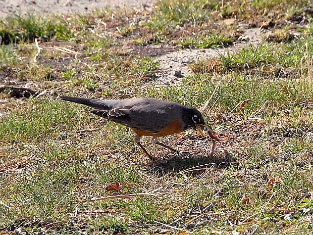 Photo by John Petroulis shows a robin finding a meal on a warm day recently.