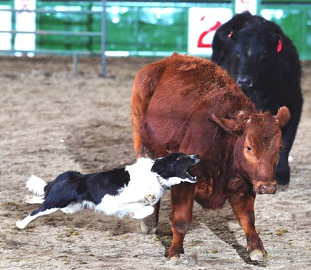 The Fallon Ranch Hand Rodeo runs today through Sunday at the Churchill County Fairgrounds and includes numerous events such as team branding and a working ranch dog (picture) competition.