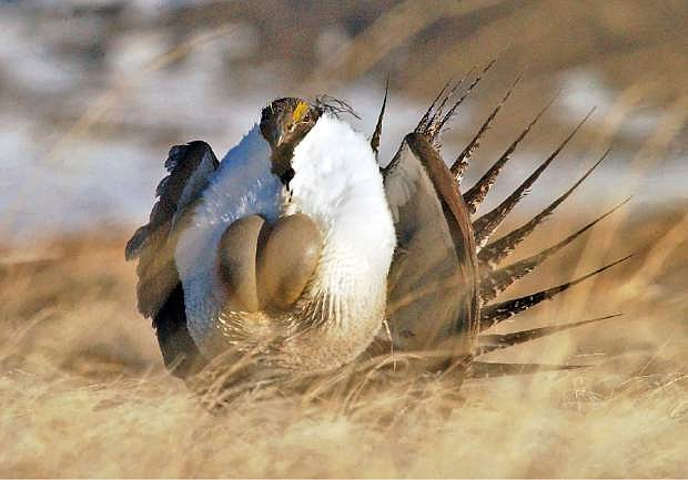 """FILE --This file photo taken Tuesday, April 15, 2008, near  Rawlins, Wyo., shows a  male sage grouse performing  his """"strut"""". Federal wildlife officials are expected to make a decision Friday Oct. 25, 2013 about listing populations of sage grouse in Nevada and California as an endangered species. Miners, ranchers and others that operate on public lands have opposed the protections as an economic disaster. (AP Photo/Rawlins Daily Times, Jerret Raffety, File)"""