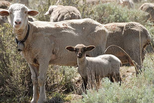 John Petroulis snapped this photo of sheep hard at work preventing fires by chomping on grass around Kings Canyon.