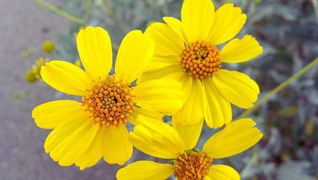 Brittlebush, a member of the sunflower family.