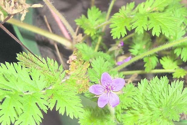 Redstem filaree, a low-growing fernlike rosette.