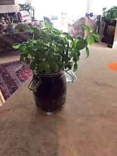 Basil and other herbs can be planted in Mason jars for another take on an indoor garden.