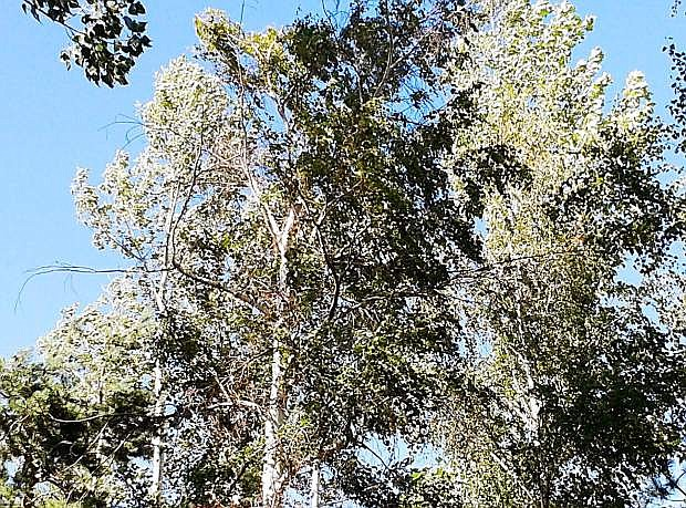 Yellowing and dying small branches are seen on birch trees.