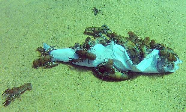 Crawfish chow on a dead mackinaw in Lake Tahoe off Sand Harbor last summer. The lake's famed clarity decreased by about 5 feet in 2015, scientists reported this week.