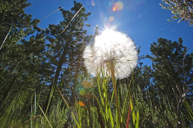 A dandelion shines in the sun at Spooner Lake State Park Wednesday afternoon. Temperatures at the lake were a little cooler but down in the valley low to mid 90 degree temperatures were expected.
