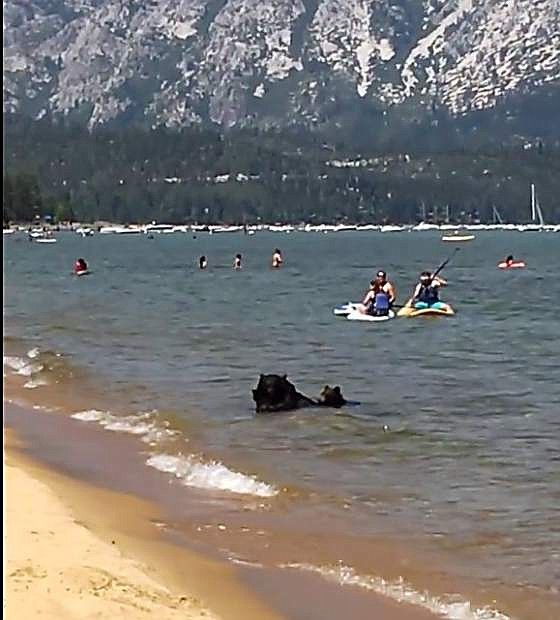Image captured from video: Pallas Buckley, who lives near South Lake Tahoe, took video of the rare sight this week: the animals frolicking and splashing in the water near the beach while people paddled nearby seemingly unfazed.