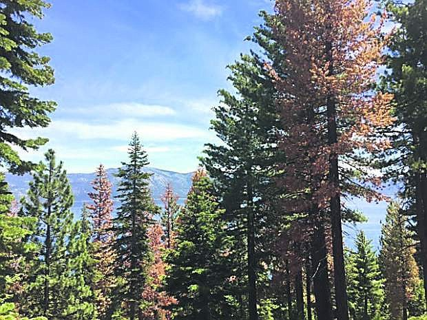 Tree mortality in Sugar Pine trees from bark beetle in the North Lake Tahoe area.