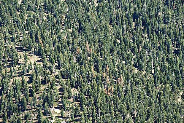 An aerial photo from last summer shows a pocket of tree mortality in White Fir trees from the bark beetle.