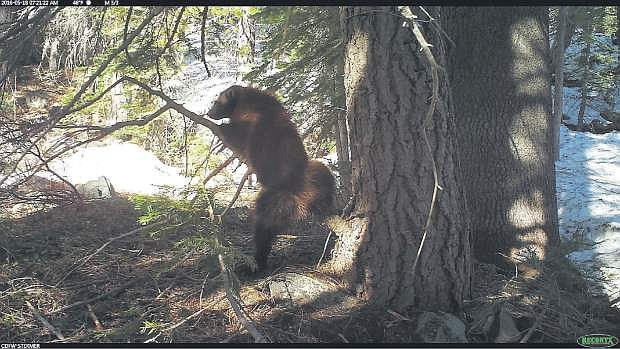The only documented wolverine in California was last spotted at Perazzo Meadows, located a few miles northwest of Truckee.