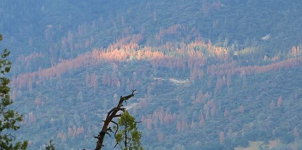 Large swaths of dead pine trees are seen in May in the Sierra National Forest, just south of Yosemite. The central and southern Sierra Nevada have been hit particularly hard by bark beetles, according to the U.S. Forest Service.