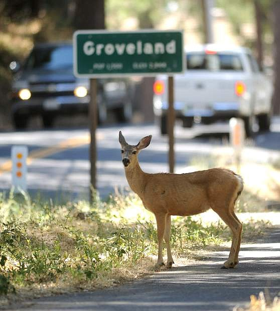 FILE - In this Aug. 26, 2013 file photo, a deer takes refuge alongside the road in the city of Groveland, Calif., on the edge of the Rim Fire which continues to burn in the Stanislaus National Forest.   It doesn't pay to be a dateline in a disaster story, as the folks around Groveland will tell you. On what would have been the busiest weekend of the summer had the Strawberry Music Festival not been cancelled, hotel rooms are empty and the local coffee roaster got rid of all 6 employees because the road to Yosemite is closed. One hotelier has had $20,000 in cancellations just this week. In the park, tourists are enjoying elbow room as hard-to-get campsite and lodging rooms are full but day tourists are staying away out of fear of fire and smoke.  (AP Photo /Elias Funez, The Modesto Bee, File) LOCAL TV OUT (KXTV10, KCRA3, KOVR13, FOX40, KMAX31, KQCA58, CENTRAL VALLEY TV); LOCAL PRINT OUT (TURLOCK JOURNAL, CERES COURIER, OAKDALE LEADER, MODESTO VIEW, PATTERSON IRRIGATOR, MANTECA BULLETIN, RIPON, RECROD, SONORA UNION DEMOCRAT, AMADOR LEDGER DISPATCH, ESCALON TIMES, CALAVERAS ENTERPRISE, RIVERBANKS NEWS) LOCAL INTERNET OUT (TURLOCK CITY NEWS.COM, MOTHER LODE.COM)