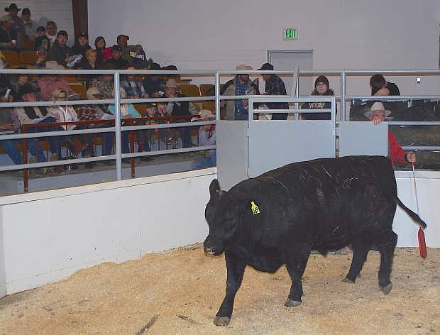 The 49th annual Fallon All Breeds Bull sale will have a sweetheart feeling to it as the sale will be conducted at the Fallon Livestock Exchange.