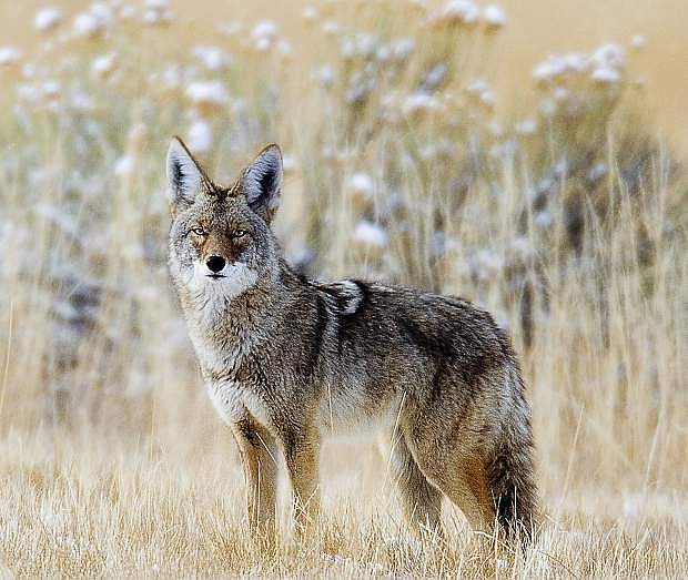 A coyote is seen prowling in the wild in Nevada.