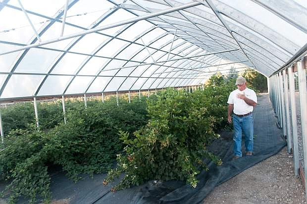 Jack Jacobs in hoop house at Jacobs Berry Farm, Gardnerville.