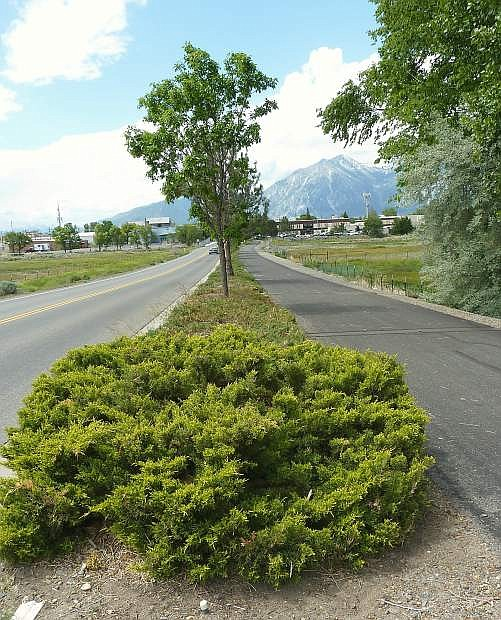 Minden officials are proposing to remove the junipers  from the landscaping between Buckeye Road and and th walking trail.