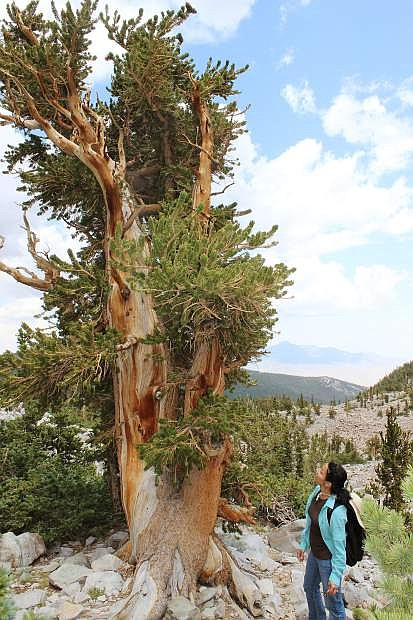 Bristlecone pine tree at Great Basin National Park, similar to one tragically cut down in 1964, which turned out to be the oldest living thing in the world.